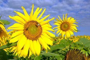 FB-F_1601_328902-Sonnenblumen-Ruchti_Severin-BE.jpg