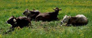 FB-P_1601_109302-Cows-Neuenschwander_Peter-BE.jpg
