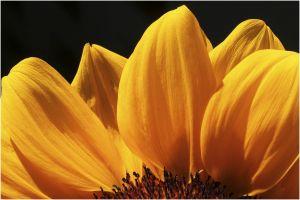 OL-DF-LK1-Sonnenblume-Schaad_Daniel.jpg
