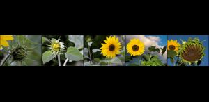 BR-XF-LK2-Sonnenblume-Seematter_Beat.jpg