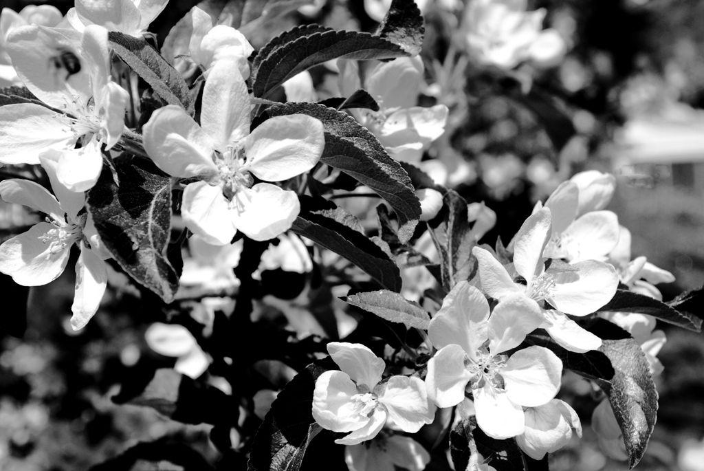 BE-SP-LK4-Apfelbluete-Ruchti_Severin.jpg