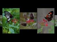 BE-XF-LK2-Butterfly-Neuenschwander_Pedro-0