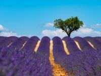 DI-P_1801_830205-lavendelfeld-Wyer_Adrian-BR