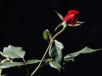 FB-F_1801_217008-rote_Rose-Christen_Margrit-OL