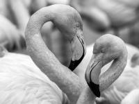 SW-P_1801_529705-Flamingo-Kalbermatten_Hugo-BR