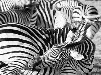 SW-P_1801_391001-Zebra-Enderlin_Karin-BS