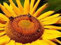 DI-F_1901_784508-Sonnenblume-Christen_Margrit-OL