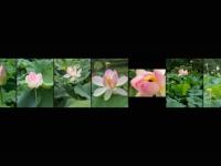 BR-XF-LK3-Lotusblueten-Seematter_Beat-0