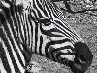 SW-F_1901_891904-Zebra-Tschanz_Peter-BI